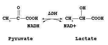 pyruvate-to-lactate